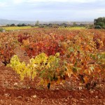 Those wonderful Autumn colours in the vineyards of La Rioja!
