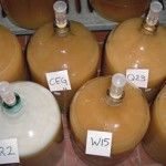 Cultivating yeasts.